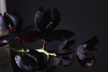 Orchid Flower Dark Burgundy Bl...
