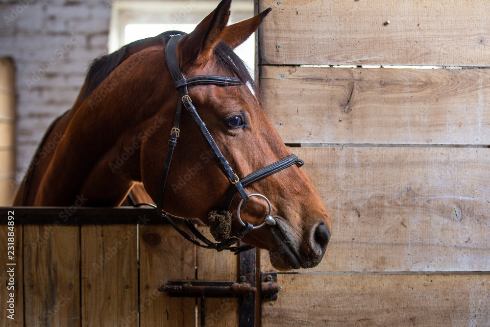 Fototapeta Bay harnessed horse standing in the stall