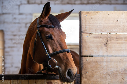 Canvas Print Bay harnessed horse standing in the stall