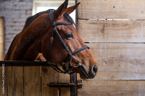 Photographie Bay harnessed horse standing in the stall