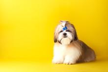 Shih Tzu Puppy Wearing Blue Bo...