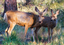 Wild Deer On The High Plains O...
