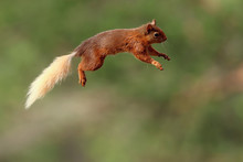 Flying Jumping Red Squirrel