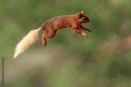 Foto op Aluminium Eekhoorn Flying Jumping Red Squirrel