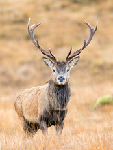 Scottish Red Deer Stag Portrait