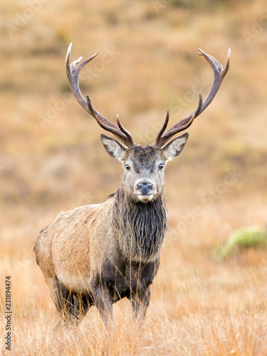 Scottish Red Deer Stag portrait Wall mural