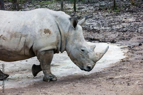 big rhinoceros walking through woods