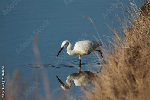 Photo Aigrette et reflet