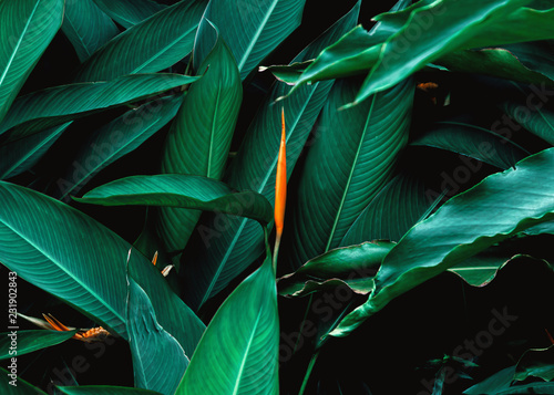 Spoed Foto op Canvas Bomen Dark green leaf with flower in tropical jungle nature background