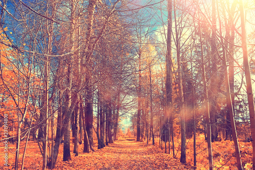 Fototapeta autumn forest landscape / yellow forest, trees and leaves October landscape in t