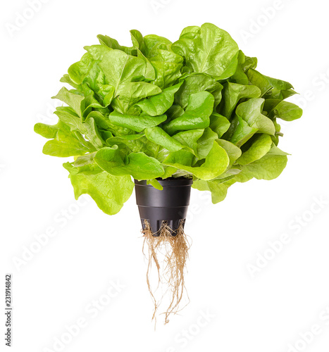 Salanova Green, living salad, front view. Oak leaf lettuce in plastic pot with roots. One cut ready, loose leaf lettuce, linear, lobed and loosely serrated. Lactuca sativa variety. Photo over white.