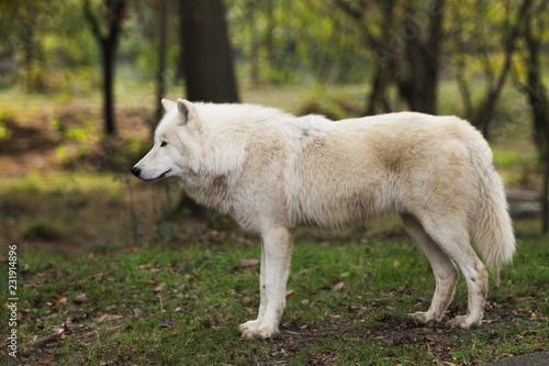 Papiers peints Loup Loup blanc dans la forêt