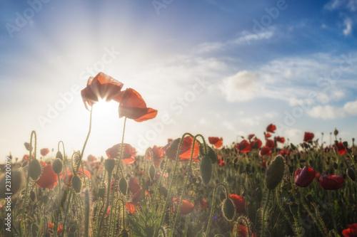 Fotobehang Poppy Poppy fields in Cornwall UK with sunlight