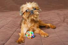 Brussels Griffon Puppy And Ball