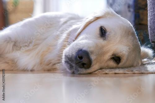 Fotografie, Obraz  Golden Retriever liegt auf dem Boden und schläft