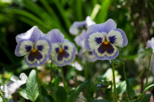Deurstickers Pansies Blue pansies outside in the garden, bright beautiful flowers to decorate the streets