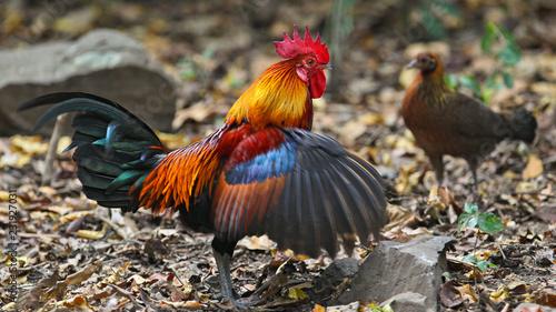 Canvas Bankivahuhn (Gallus gallus) Männchen und Weibchen, Kaeng Krachan National Park,