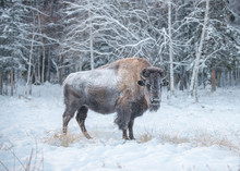 Bison Or Bison (lat. Bison) - ...