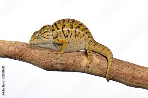Poster Chamaleon Pantherchamäleon (Furcifer pardalis) - Panther chameleon