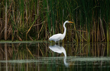 A Great Egret Reflects In The ...