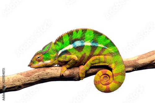 Foto op Aluminium Kameleon Pantherchamäleon (Furcifer pardalis) - Panther chameleon