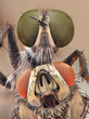 Extreme sharp and detailed closeup macro of robber fly