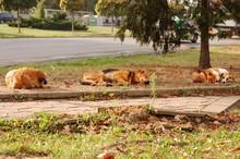 Stray Dogs Rest And Warm In Th...