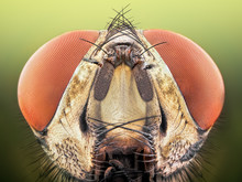 Extreme Sharp And Detailed Study Of Fly Head Stacked Taken With Microscope Objective