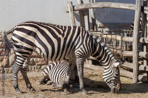 In de dag Zebra Zebra in Budapest Zoo