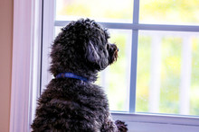 Photograph Of A Black And Shih Poo Dog