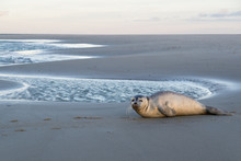 Young Harbor Seal At The Beach...