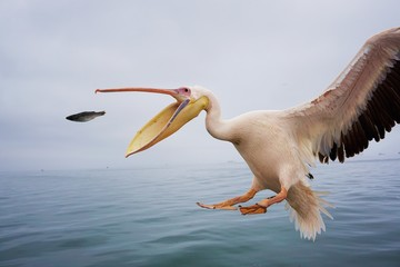 Fototapeta na wymiar Pelikan fängt Fisch