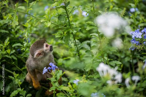 Fotobehang Aap Singe-écureuils