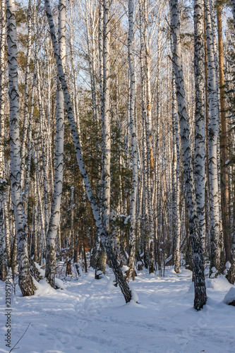 Tuinposter Berkbosje young birch forest covered with fresh clean white snow. forest winter landscape. frost on the branches. cold morning fog.