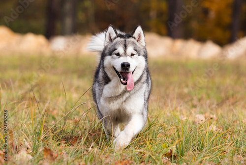 Malamute dog outdoors Canvas Print