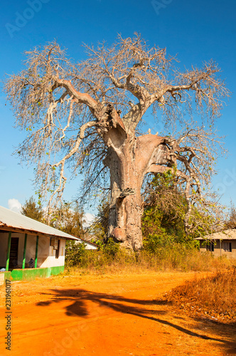 Adansonia digitata, the baobab, is the most widespread of the Adansonia species, and is native to the African continent, Zanzibar Tanzania Canvas Print