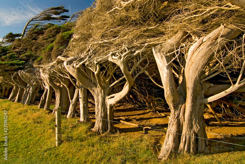 Fotografering Windswept trees near Slope Point the southernmost point of the South Island, The Catlins New Zealand