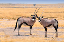 Two Beautiful Male Gemsboks (O...