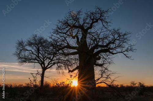 Wallpaper Mural Baobab tree (Adansonia digitata) Makgadigadi Pans at Gweta in Botswana