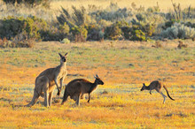 Female And Male Eastern Grey Kangaroos (Macropus Giganteus), Coorong National Park Australia.