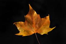 Autumnal Plane Tree Leaf Against Black