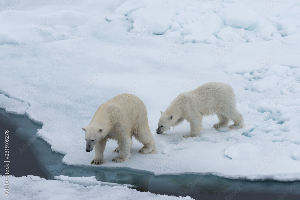 Polar bear (Ursus maritimus) mother and cub on the pack ice, north of Svalbard Arctic Norway
