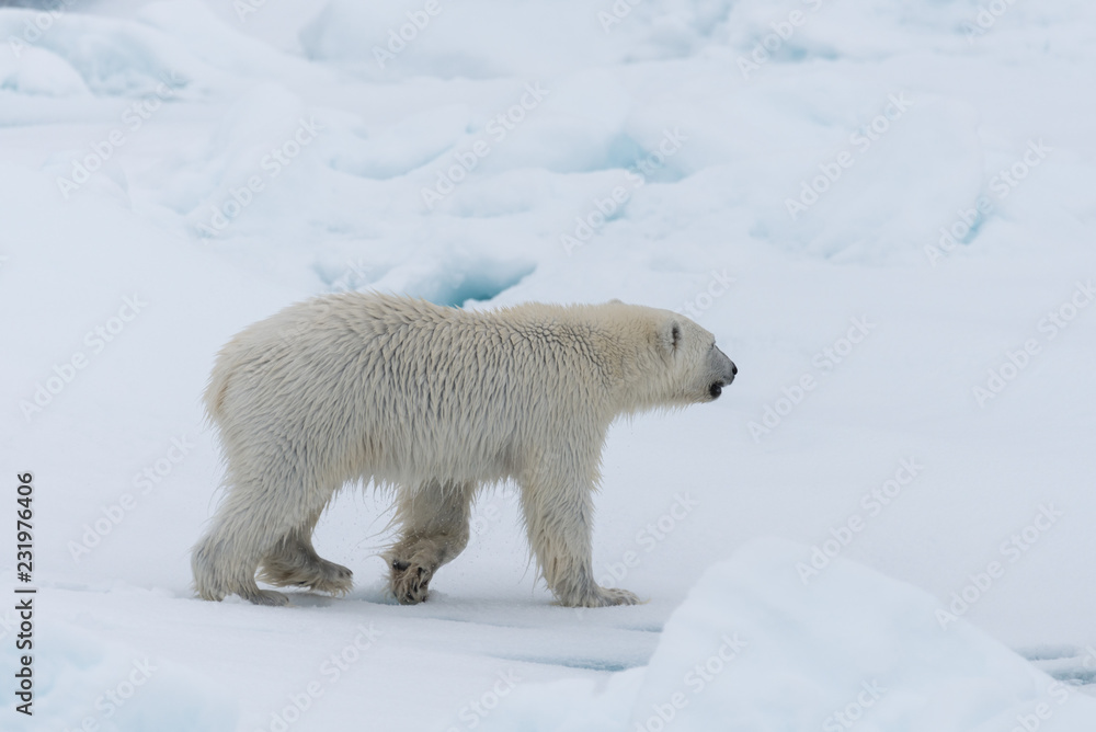 Wild polar bear cub on the pack ice, north of Svalbard Arctic Norway