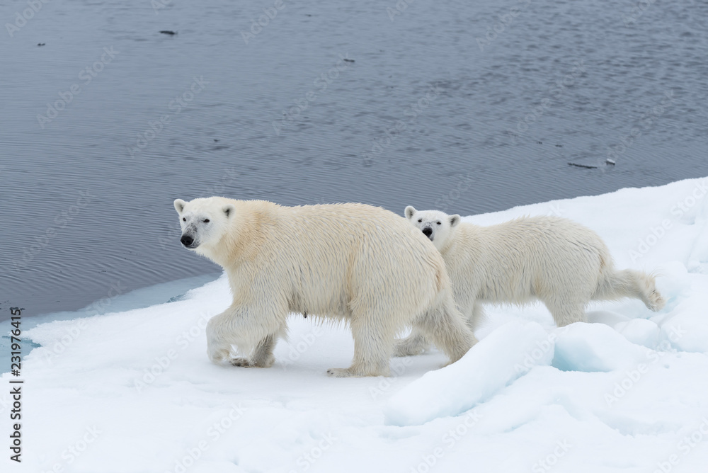 Wild polar bear (Ursus maritimus) mother and cub on the pack ice, north of Svalbard Arctic Norway
