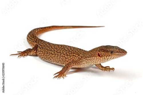 Zwergwaran (Varanus primordius) - Dwarf Monitor