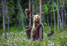 She-bear And Cubs. Brown Bear ...