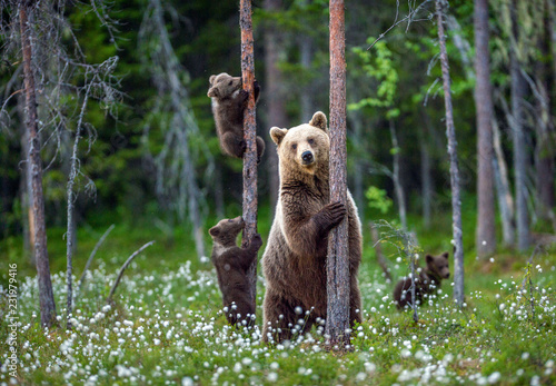 Tela  She-bear and cubs