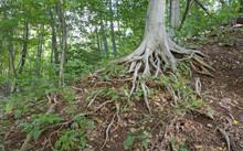 Tree Roots Exposed On A Steep Hillside
