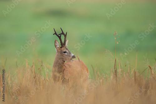 Staande foto Hert Roebuck - buck (Capreolus capreolus) Roe deer - goat