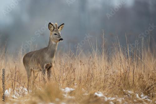Fototapeta Roebuck - buck (Capreolus capreolus) Roe deer - goat